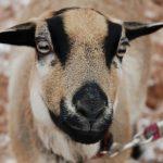 Eines unserer Schafe