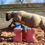 Ein großer Sprung für ein Schaf