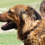 Hofhund Leyla