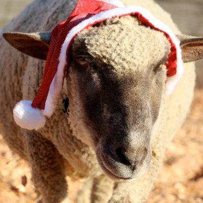 Das Weihnachtsschaf